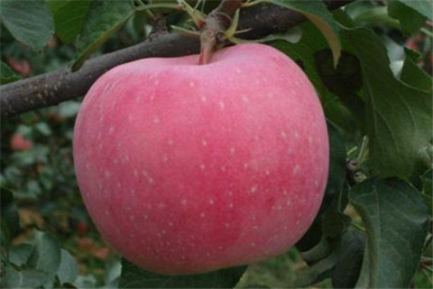陕西红富士苹果苗