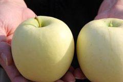 陕西瑞雪苹果
