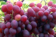 红提葡萄苗